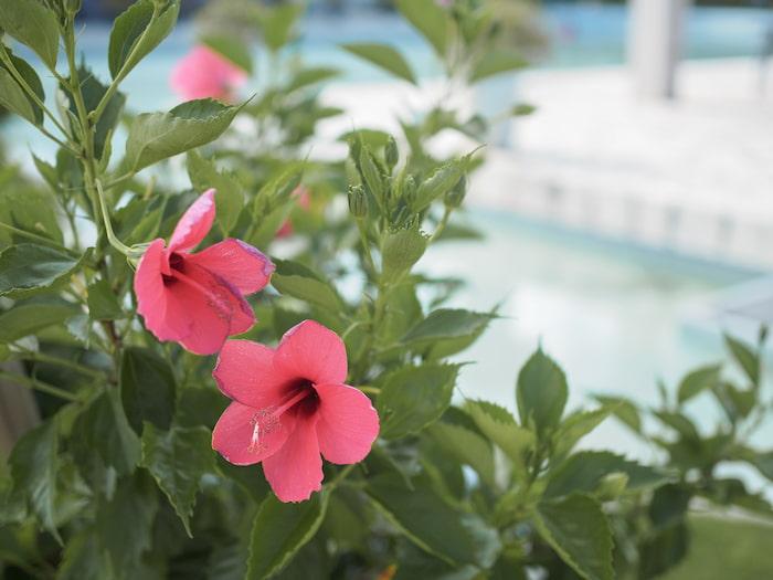 沖縄リゾートのハイビスカス